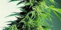 Canadian Bred Seeds - Hindu Kush cannabis seeds