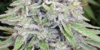 CannaBioGen - Bangi Haze cannabis seeds