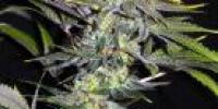 CBD Crew - Sweet n Sour Widow cannabis seeds