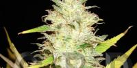 C.B.D. Seeds - Auto Northern cannabis seeds