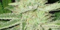 C.B.D. Seeds - Shark cannabis seeds