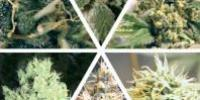 Ceres Seeds - Indoor Mix cannabis seeds