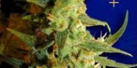 Ceres Seeds - Skunk Haze cannabis seeds