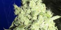 Ceres Seeds - White Indica cannabis seeds