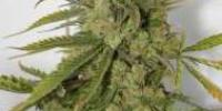 Connoisseur Genetics Seeds - Cheese Dog cannabis seeds