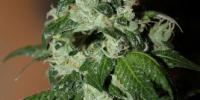 Connoisseur Genetics Seeds - Diesel Dipped Cookies cannabis seeds