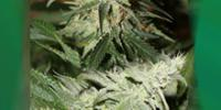 Connoisseur Genetics Seeds - Strawberries & Cream cannabis seeds