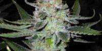 Connoisseur Genetics Seeds - UK Chem cannabis seeds
