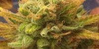 Cream of the Crop - Black Gold Auto cannabis seeds