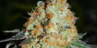 Cream of the Crop - Cash Crop Auto cannabis seeds