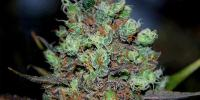 Cream of the Crop - Purple Paralysis cannabis seeds