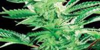 De Sjamaan Seeds - Easy Rider cannabis seeds