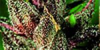 De Sjamaan Seeds - Lady Purple cannabis seeds