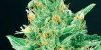 De Sjamaan Seeds - Merlins Dream cannabis seeds