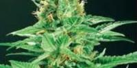 De Sjamaan Seeds - Shamans High cannabis seeds