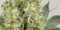 De Sjamaan Seeds - The Magician cannabis seeds