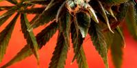 Delta 9 - The Simpson Kush cannabis seeds