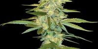 DNA Genetics - Cannalope Kush cannabis seeds