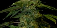 DNA Genetics - Holy Grail Kush cannabis seeds