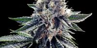DNA Genetics - Sour Kosher cannabis seeds