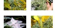 Dr Underground - Killer Mix cannabis seeds