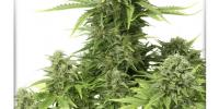 Dutch Passion - Star Ryder cannabis seeds