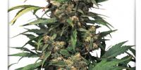 Dutch Passion - Strawberry Cough cannabis seeds