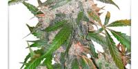 Dutch Passion - White Widow cannabis seeds