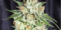Elemental Seeds - 5th Element cannabis seeds