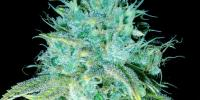Emerald Triangle - Sour Puss cannabis seeds