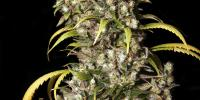 Eva Seeds - Monster cannabis seeds