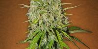 Fast Buds - Grapefruit\'matic cannabis seeds