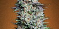 Fast Buds - Mexican Airlines cannabis seeds