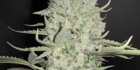 Female Seeds - White Widow X Big Bud cannabis seeds