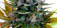 Flash Auto Seeds - Jet 47 cannabis seeds