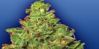 Flying Dutchmen Seeds - Edelweiss cannabis seeds