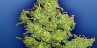 Flying Dutchmen Seeds - Flying Dragon cannabis seeds