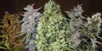 Flying Dutchmen Seeds - Flying Dutchmen Mixed Sativa Divas cannabis seeds