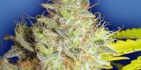 Flying Dutchmen Seeds - Kerala Krush cannabis seeds