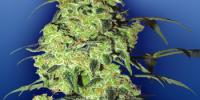 Flying Dutchmen Seeds - White Widow cannabis seeds