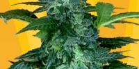 Freedom Of Seeds - Pixie Punch Auto cannabis seeds