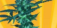 Freedom Of Seeds - Short Nepali Auto cannabis seeds