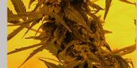 French Touch Seeds - Guillotine cannabis seeds