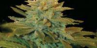 Genehtik Seeds - TXEES Bilbo cannabis seeds