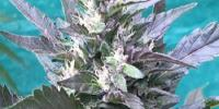 Grand Daddy Purp - Bay Lotus cannabis seeds