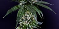 Grand Daddy Purp - Kens Kush cannabis seeds