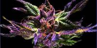 Grand Daddy Purp - Original Grand Daddy Purp cannabis seeds