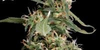 Green House Seeds - Arjan Ultra Haze 1 cannabis seeds