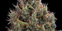 Green House Seeds - Big Bang Automatic cannabis seeds