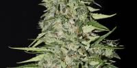 Green House Seeds - Diamond Girl cannabis seeds